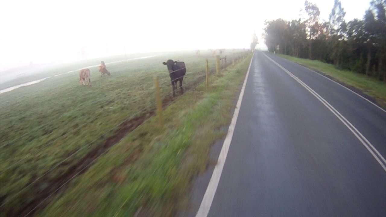 Cow Spectator